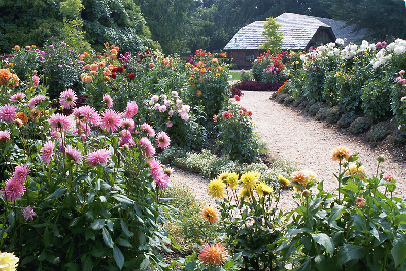 Captivating Mid Island Dahlia Society Maintains The Paul Callahan Dahlia Garden At The  Planting Fields Arboretum State Historic Park In Oyster Bay, Meeting There  ...